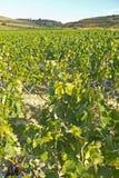 Landscape of vineyard royalty free stock photography