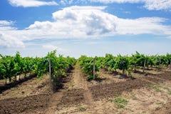 Landscape of vineyard nature background. Landscape of vineyard, nature background Stock Photo