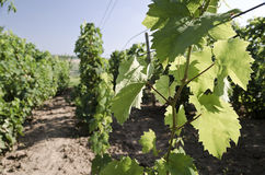 Landscape  in the vineyard in the summer Royalty Free Stock Images