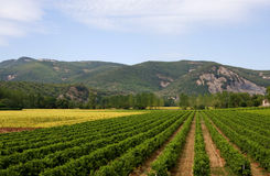 Landscape with vineyard and sunflowers in France. Landscape with vineyard, sunflowers and mountains in the Ardeche of France stock photos