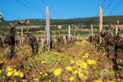 Landscape with vineyard on a sunny spring day. Royalty Free Stock Photo