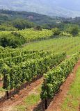 Landscape with vineyards loaded with bunches of grapes 2 Royalty Free Stock Photos