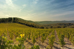 Landscape of vineyards Stock Image