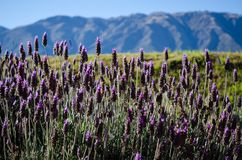 Landscape with violet purple blossoms and mountains in the background in Patagonia Argentina stock photo