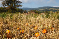 Landscape Virginia Field with Scattered Pumpkins. Pumpkins were strategically placed in a rural field for children of all ages to find during Harvest Days Royalty Free Stock Image