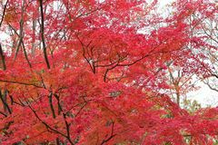 Landscape of vivid colored Japanese Autumn Maple tree Stock Images