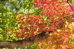 Landscape of vivid colored Japanese Autumn Maple tree Royalty Free Stock Image