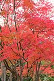 Landscape of vivid colored Japanese Autumn Maple tree Royalty Free Stock Photo