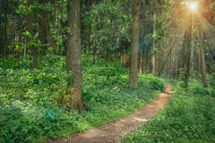 Landscape of walking path in green summer forest. With bright beautiful sun royalty free stock image