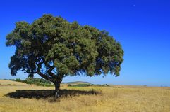 Olive tree making the only shade of grass royalty free stock photography