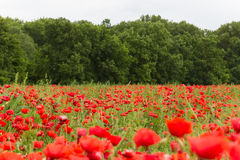 Landscape wallpaper of red flower field Royalty Free Stock Photo