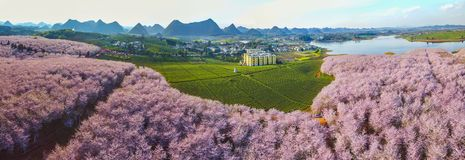 Cherry blossoms and tea gardens Stock Images