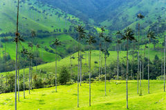 Landscape of Wax Palm Trees Stock Photos