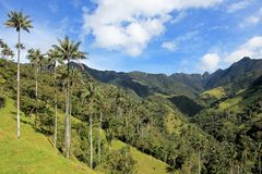 Landscape of wax palm trees in Cocora Valley near Salento, Colombia. South America Stock Photography