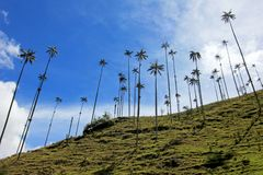 Landscape of wax palm trees in Cocora Valley near Salento, Colombia Stock Photos