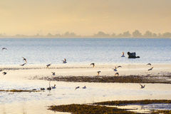 Landscape of a wetland at Nafplio in Greece with a flock of birds (Charadrius species)  flying. Stock Image