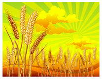 Landscape with wheat. Landscape with ripe yellow wheat ears on field, agricultural illustration Stock Photo