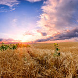 Landscape with wheat field Royalty Free Stock Photos