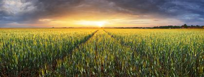 Landscape with wheat field, agriculture - panorama stock photography