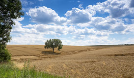Landscape with wheat field Royalty Free Stock Image