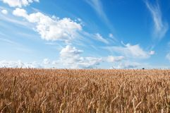 Landscape with Wheat Field and Clouds Royalty Free Stock Image
