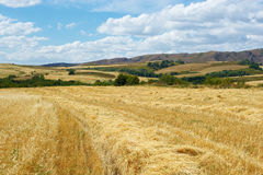 Landscape of wheat field. In the mountains Royalty Free Stock Images