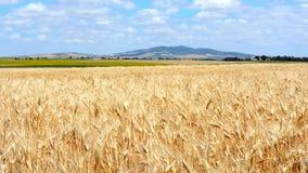 Landscape wheat field stock footage