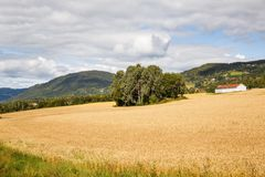 Landscape in Norway. Landscape with wheat field, trees and village in Norway Stock Photography