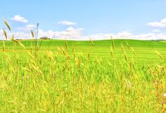 Landscape of wheat field under blue sky in spring Stock Photos