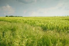 Landscape with wheatfield Royalty Free Stock Photo