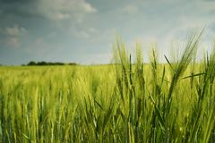 Landscape with wheatfield Royalty Free Stock Images