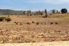 Landscape whit cows Stock Photos