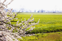 Landscape with white cherry tree Stock Photo
