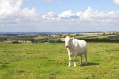 Landscape with white cow in a summer meadow Royalty Free Stock Photo