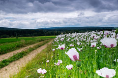 Landscape with white poppy field Stock Photography