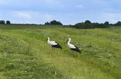 Landscape whith two storks Stock Images