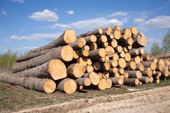 Landscape width stacked pine logs Stock Photo