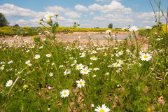 Landscape with wild daisies Stock Images