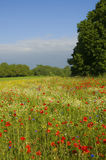 Landscape with wild flowers Royalty Free Stock Photography