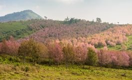 Landscape of Wild Himalayan cherry blossom forest in full bloom, Stock Photography