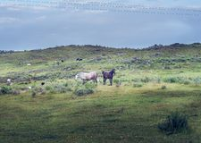 Landscape with wild horses in the green spring field in the pasture of Extremadura royalty free stock photography