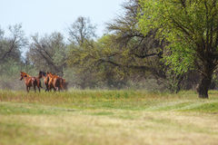 Landscape with wild horses running on summer meadow Royalty Free Stock Photography