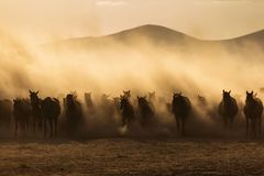 Landscape of wild horses running at sunset with dust in background. stock images