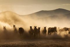 Landscape of wild horses running at sunset with dust in background.  royalty free stock photo