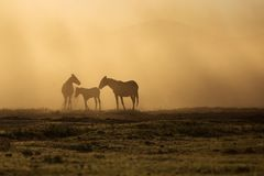 Landscape of wild horses running at sunset with dust in background royalty free stock image