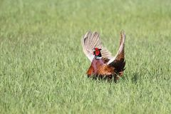 Landscape with wild pheasant Phasianus colchicus on a grassland in Ukraine, 2017. Wild pheasant standing in a field. Landscape with wild pheasant Phasianus Royalty Free Stock Images