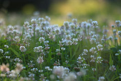 landscape wild white flowers in field Stock Photography