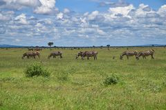 Landscape with wild Zebras on the savanna, Africa, Kenya stock images