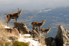 Landscape and wildlife Gredos Royalty Free Stock Photos