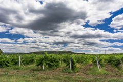 Landscape with wine grapes in the vineyard. Crimea Royalty Free Stock Photo